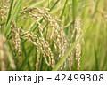 たんぼ 田んぼ 田圃の写真 42499308