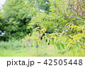 夏の公園 イガグリ 42505448