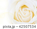 yellow rose flower 42507534