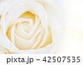 yellow rose flower 42507535