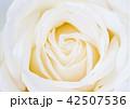 yellow rose flower 42507536