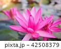 きれい 綺麗 花の写真 42508379