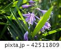 コバギボウシ(小葉擬宝珠) 42511809