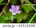 イブキフウロ(蝦夷風露) 42515098