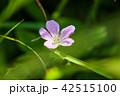 ハクサンフウロ(白山風露) 42515100