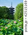 東寺 五重塔 蓮の写真 42515169