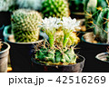 植物 サボテン科 サボテンの写真 42516269