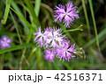 カワラナデシコ(河原撫子) 42516371