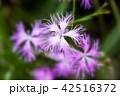 カワラナデシコ(河原撫子) 42516372