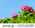 紫陽花 あじさい 花の写真 42519280