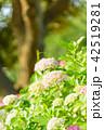 紫陽花 あじさい 花の写真 42519281