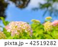 紫陽花 あじさい 花の写真 42519282