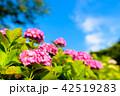 紫陽花 あじさい 花の写真 42519283