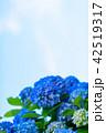 あじさい 花 青の写真 42519317