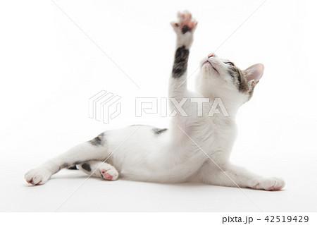 手を挙げている猫 42519429