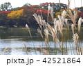 紅葉 秋 植物の写真 42521864