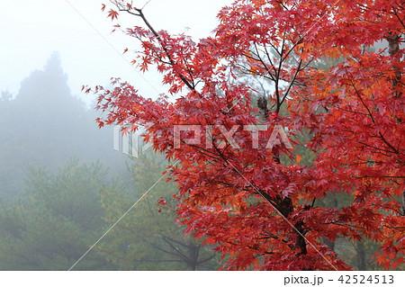 霧と紅葉 42524513
