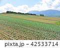 畑 キャベツ キャベツ畑の写真 42533714