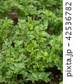 セロリ 野菜畑 畑の写真 42536782