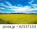 田んぼ 風景 秋の写真 42537154