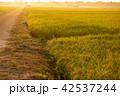 稲 田んぼ 秋の写真 42537244