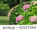 植物 花 あじさいの写真 42537464