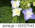 白い額紫陽花 42537543
