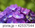 赤紫色の紫陽花 42537544