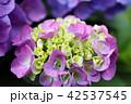 ブーケのような薄いピンク色の紫陽花 42537545