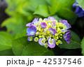 ブーケのような薄い青紫の紫陽花 42537546