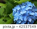 青い紫陽花の花 42537549