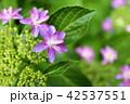 赤紫色の額紫陽花 42537551