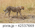 Wild african cheetah 42537669