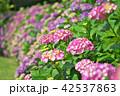 植物 花 紫陽花の写真 42537863