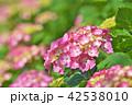 植物 花 紫陽花の写真 42538010