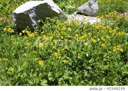 中央アルプス・千畳敷カールのお花畑 42540239