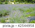 蒜山ハーブガーデンハービル ラベンダー 花畑の写真 42544958