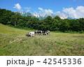 北尾根高原 放牧された牛たち 白馬村 42545336