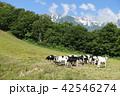 北尾根高原 放牧された牛たち 白馬村 42546274