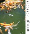 鯉 群れ 池の写真 42550946