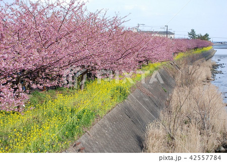 Cherry blossoms and Mustard blossoms 42557784
