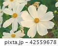 お花 フラワー 咲く花の写真 42559678