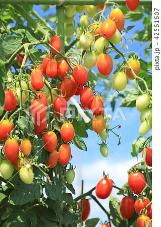 プチトマト 42561607