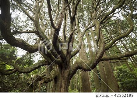高森殿の杉の木(雄杉) 42562198