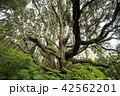 杉 高森殿の杉 木の写真 42562201