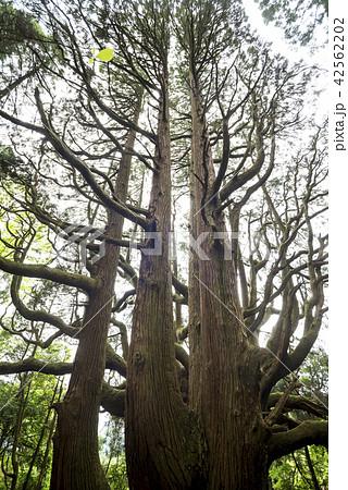 高森殿の杉の木(雄杉をバックに雌杉) 42562202