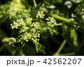 セロリ 花 ハーブの写真 42562207