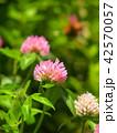 花 赤詰草 クローバーの写真 42570057