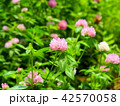 花 赤詰草 クローバーの写真 42570058