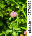花 赤詰草 クローバーの写真 42570059